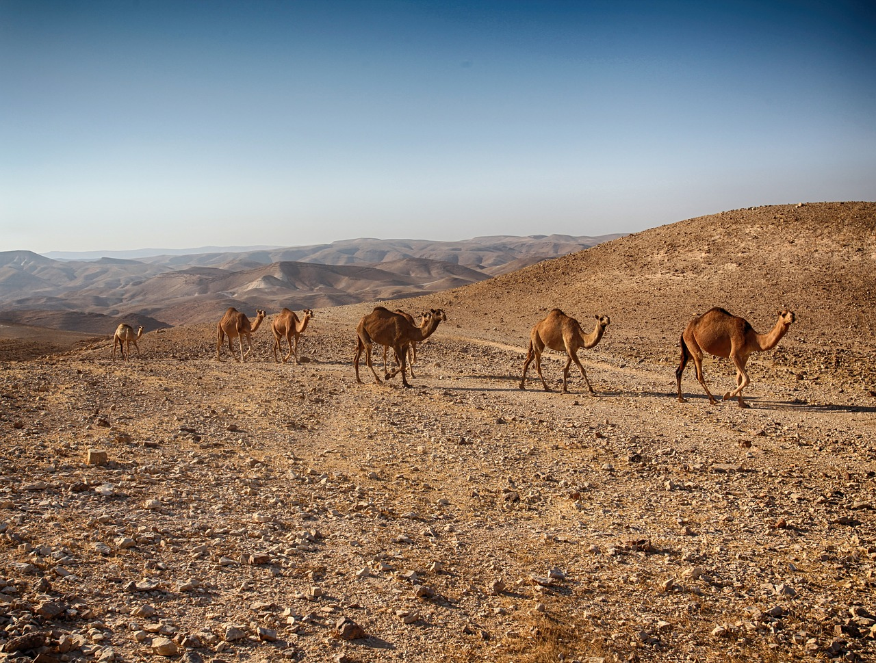dead-sea-camels-walking-on-the sea-shore
